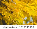 Yellow  Autumn Leaves Of A...
