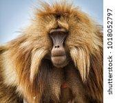 gelada baboon portrait of a... | Shutterstock . vector #1018052797
