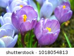 Early Spring Flowering Crocus