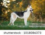 east european shepherd standing | Shutterstock . vector #1018086373