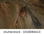 diadem roundleaf bat ...   Shutterstock . vector #1018086613