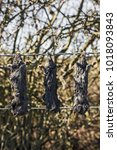 Small photo of Close up of moles hung on a fence probably by the molecatcher as proof of his work.
