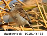 a beautiful sparrow sits in the ... | Shutterstock . vector #1018146463