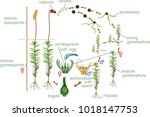 moss life cycle. diagram of a... | Shutterstock .eps vector #1018147753