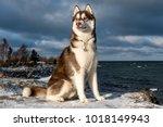 Siberian Husky. Dog. Winter.