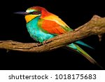 exotic bird on branch isolated... | Shutterstock . vector #1018175683