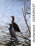 Small photo of Great Cormorant (Phalacrocorax carba) perched on branch above water.