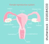 female reproductive system.... | Shutterstock .eps vector #1018184233