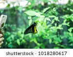 Yellow Golden Birdwing...