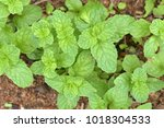 peppermint in the garden | Shutterstock . vector #1018304533
