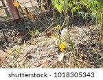 crotalaria juncea sunn hemp  ... | Shutterstock . vector #1018305343