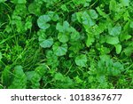 weed grass on the lawn  green... | Shutterstock . vector #1018367677