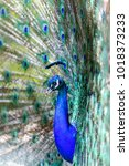 a beautiful male peacock in...   Shutterstock . vector #1018373233