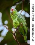 crimson fronted or finsch's... | Shutterstock . vector #1018416883