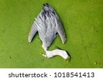 great egret dead in an... | Shutterstock . vector #1018541413