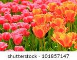 fresh tulips | Shutterstock . vector #101857147