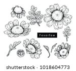 collection feverfew with line... | Shutterstock .eps vector #1018604773