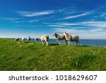 Dutch Sheeps On The Dike  Lamb...