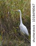 european great white egret... | Shutterstock . vector #1018698067