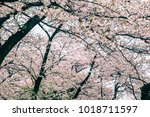 sakura cherry blossom tree with ... | Shutterstock . vector #1018711597