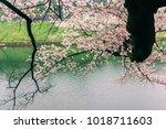 sakura cherry blossom tree with ... | Shutterstock . vector #1018711603