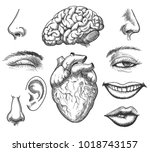 human face and organs. human... | Shutterstock .eps vector #1018743157