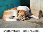 mixed breed dog with white and... | Shutterstock . vector #1018767883
