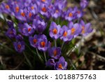 fresh beautiful purple crocuses.... | Shutterstock . vector #1018875763