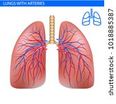 human lungs anatomy with artery ... | Shutterstock .eps vector #1018885387