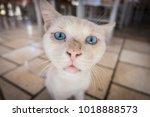 blue eyed cat. | Shutterstock . vector #1018888573