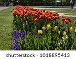 blooming flowers in peterhof... | Shutterstock . vector #1018895413