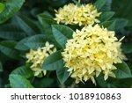 yellow ixora flower in the... | Shutterstock . vector #1018910863
