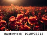 flowers red poppies blossom on...   Shutterstock . vector #1018938313