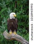 Bold Eagle Sitting On A Dry...
