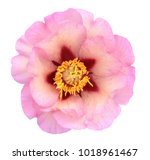 beautiful peony flower isolated ... | Shutterstock . vector #1018961467