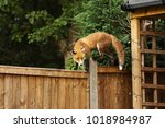 close up of a red fox walking... | Shutterstock . vector #1018984987