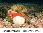 Triton Conch From The Sea Of...