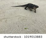 a black and pink iguana crawls... | Shutterstock . vector #1019013883