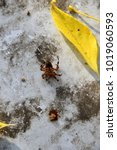 Small photo of Spider( lat. Araneae) brown pretended to be dead. Put all the legs. Autumn.