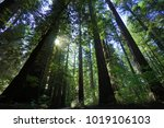 the tallest trees in the world... | Shutterstock . vector #1019106103