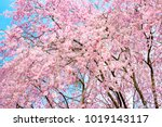 sakura tree cherry blossoms in... | Shutterstock . vector #1019143117