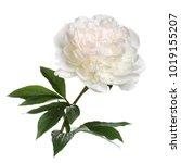 Stock photo delicate peony isolated on white background 1019155207