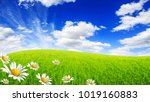 wild daisies in the green field ... | Shutterstock . vector #1019160883