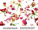 Stock photo dry rose isolated on white background 1019234107