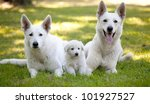 white swiss shepherds | Shutterstock . vector #101927527