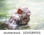 cute wet crab eating macaque ... | Shutterstock . vector #1019289553