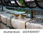 flock of house sparrows sits on ... | Shutterstock . vector #1019304457