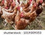 laying hens farm | Shutterstock . vector #1019309353