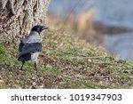 The Hooded Crow  Corvus Cornix...