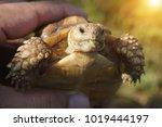 tortoise on the hands of man ... | Shutterstock . vector #1019444197